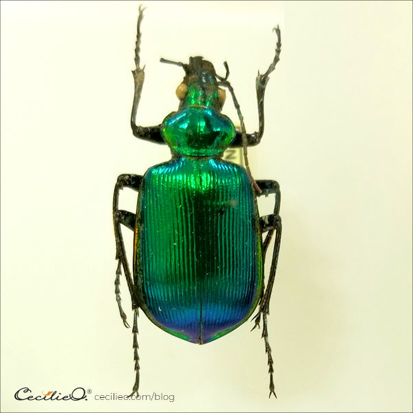 Shimmering green and blue beetle