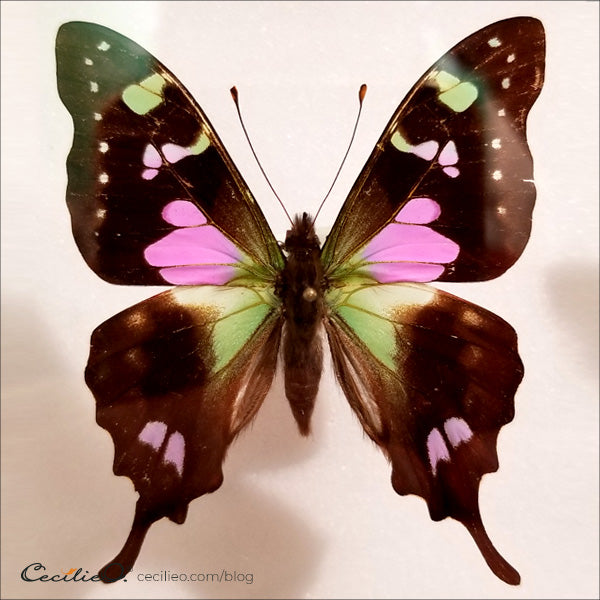 Pink and green butterfly