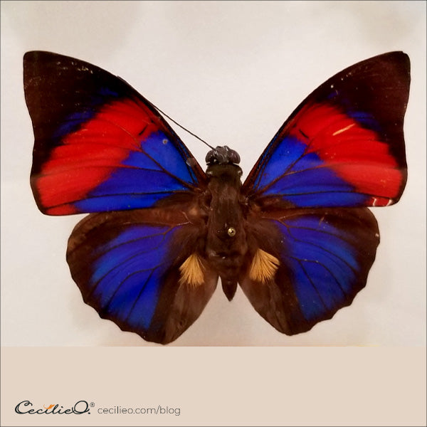 Red and blue butterfly
