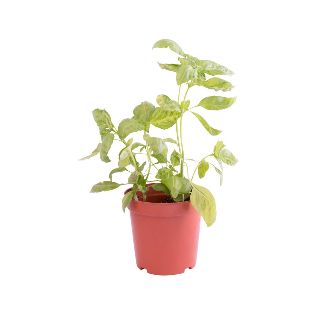 Local Organic Italian Basil Pot(1pc)