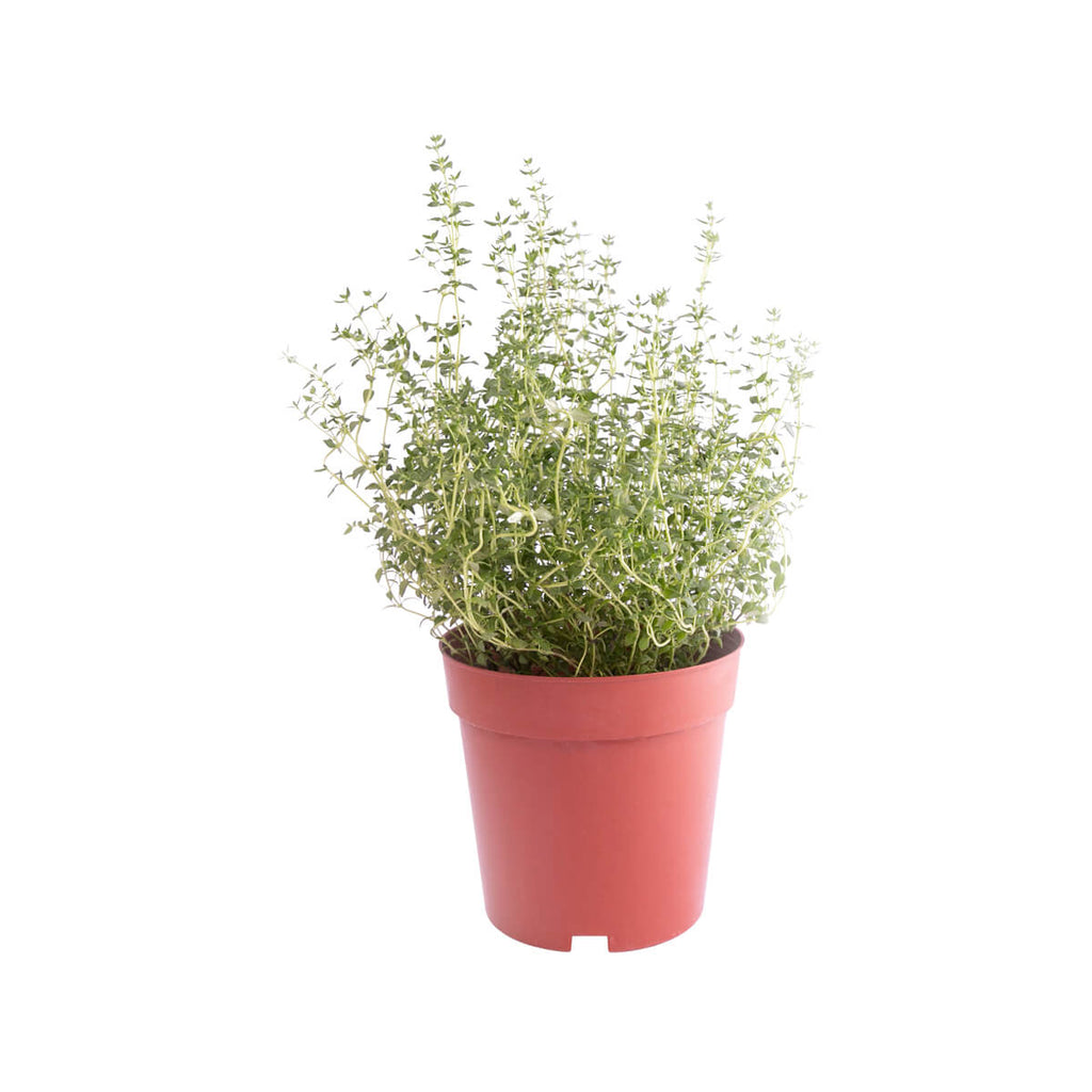 Local Organic Thyme Pot(1pc)