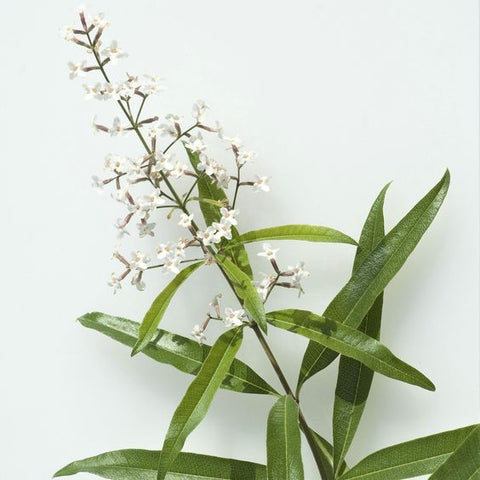 lemon verbena herb wedding symbolism