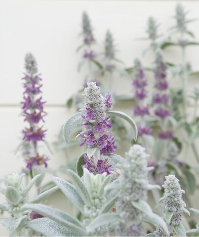 lambs ear wedding herb symbolism