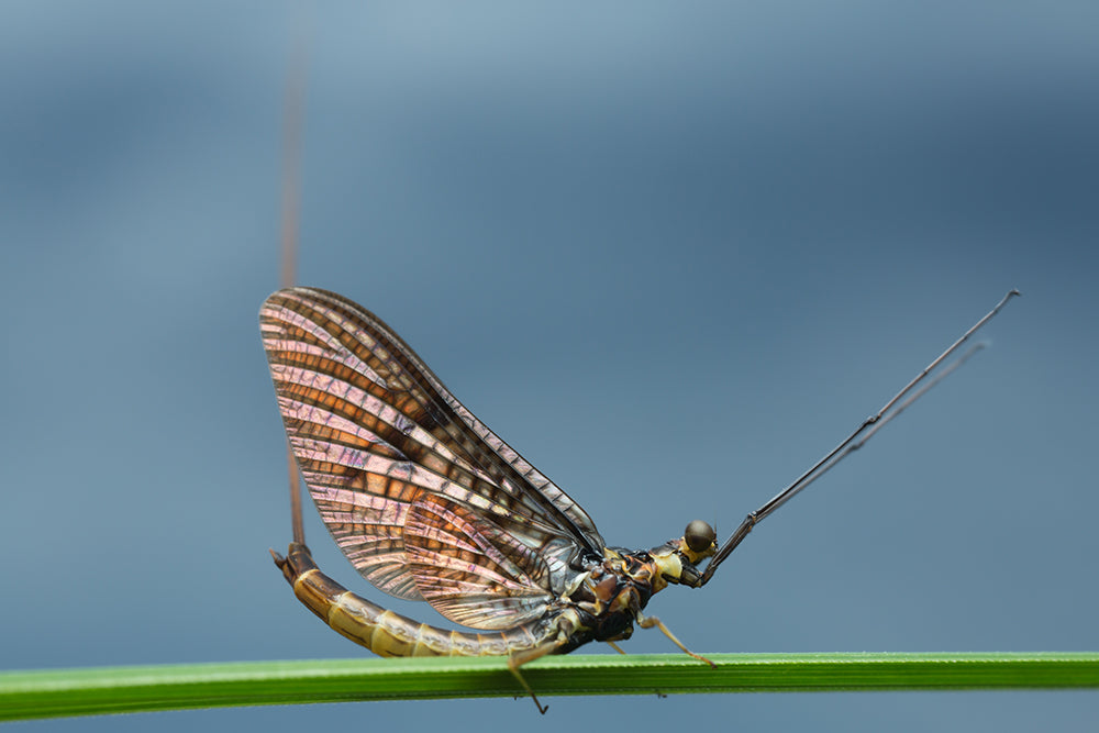 Cast Your Mayfly Patterns in a True Angler's Paradise