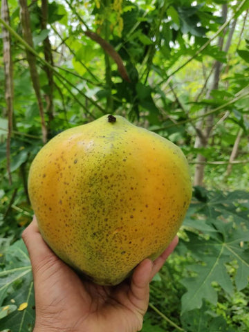 Desi Indigenous Papaya grown on the Two Brothers Organic Farms, Indigenous Seeds
