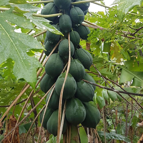 Desi Papaya at Two Brothers Organic Farms, Indigenous Desi Papaya