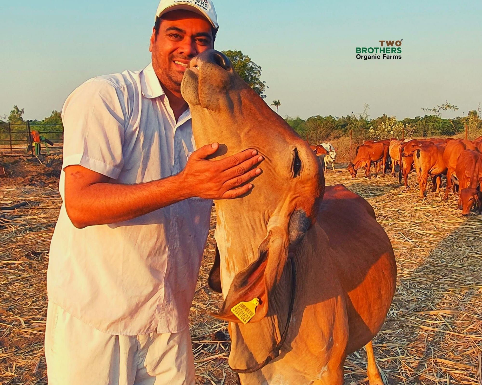 Bovine Colostrum, Colostrum, Cheek, Kharvas, Integrated Farming, Desi Cow based Natural farming, Rural India and the cow, Farmer and his cow, two brothers, two brothers organic farm, IGg foods, Leaky gut foods, Colostrum powder