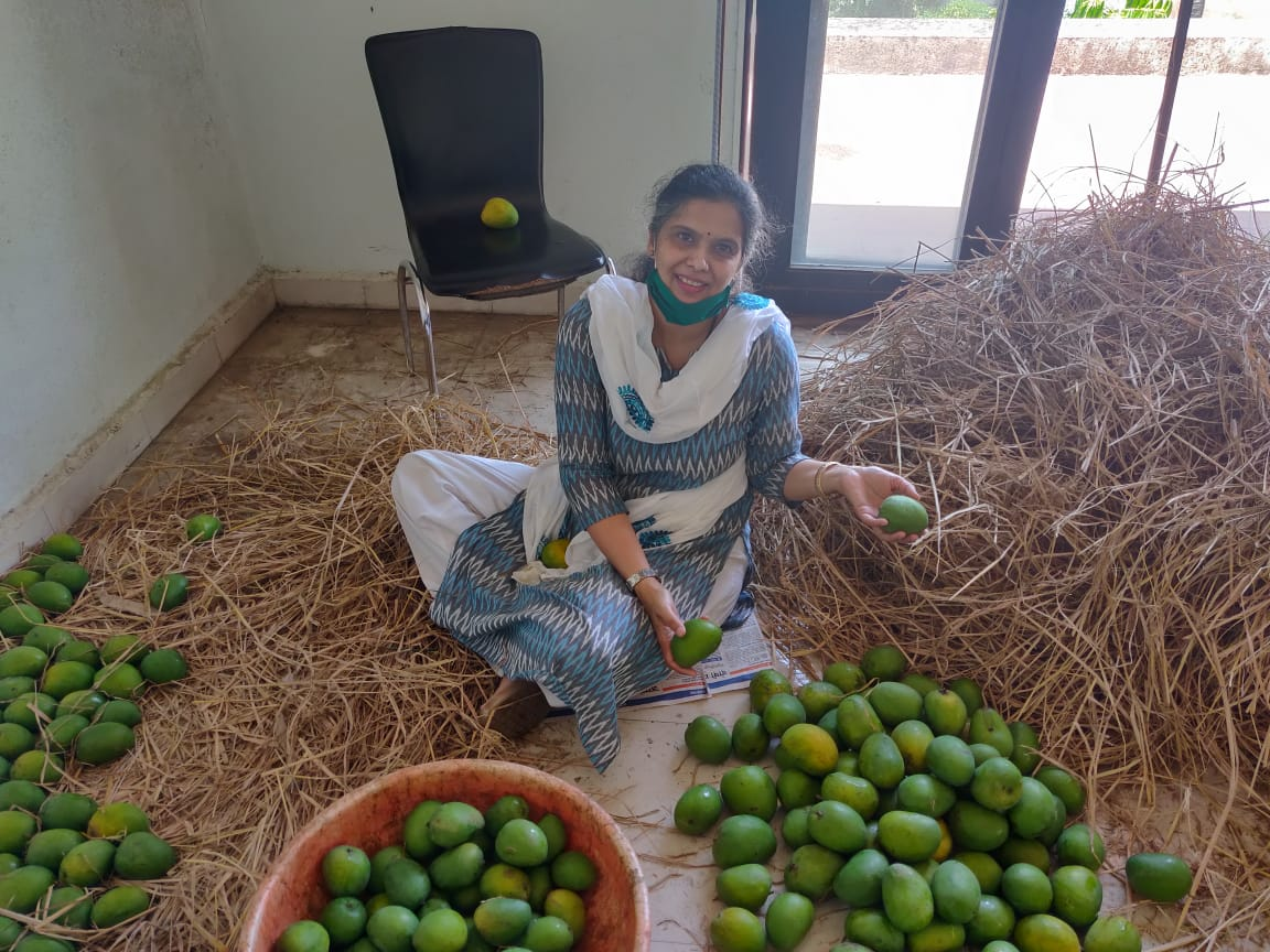 Organic, Naturally Ripened Alphonso Mangoes from 'Paarakhi' by Farmer Monika Mohite (Shipping ONLY in India)