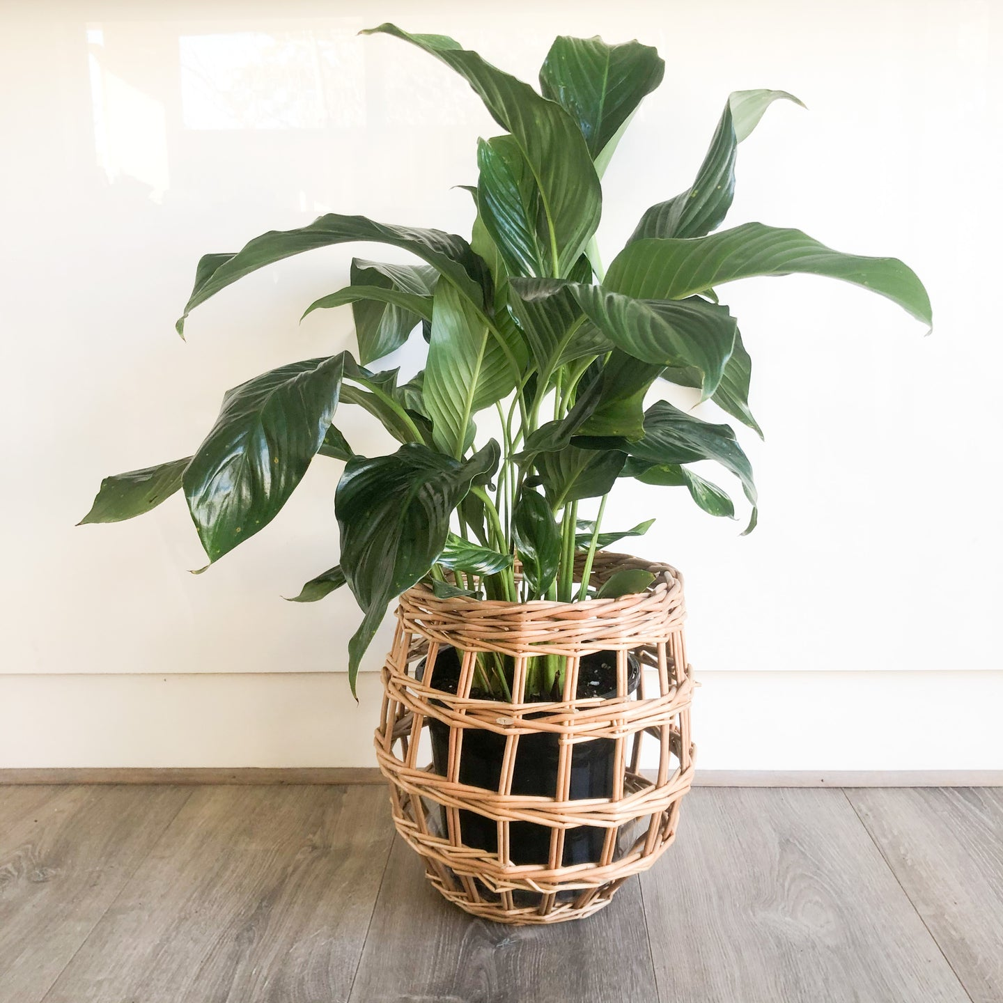 GIANT PEACE LILY