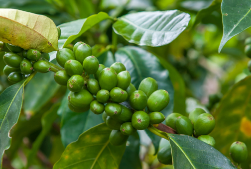 Let's Talk About Green Coffee