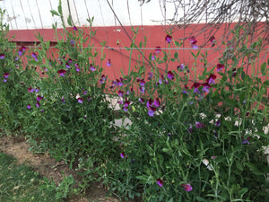 Find Your Sweet Peas
