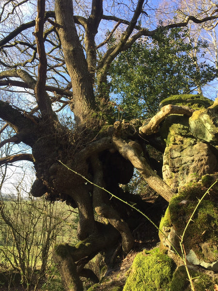 The Ancient and Magic Oaks of Treflach