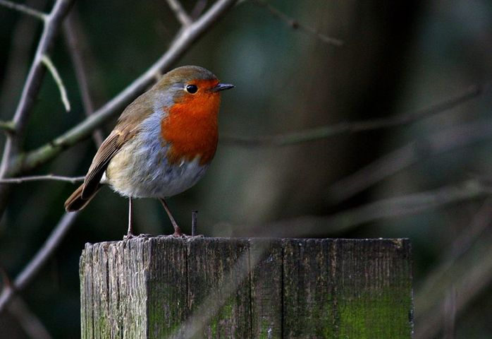 The Treflach Robin
