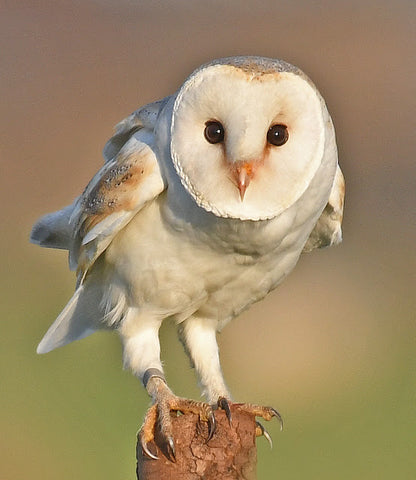 Image kindly reproduced from RSPB website https://focusingonwildlife.com/news/barn-owls-at-christmas/