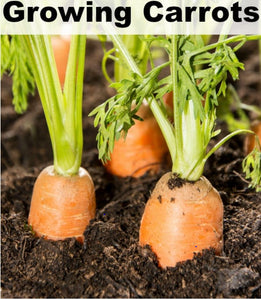 Tips for Growing Carrots