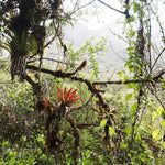 Epiphyte in the Mist