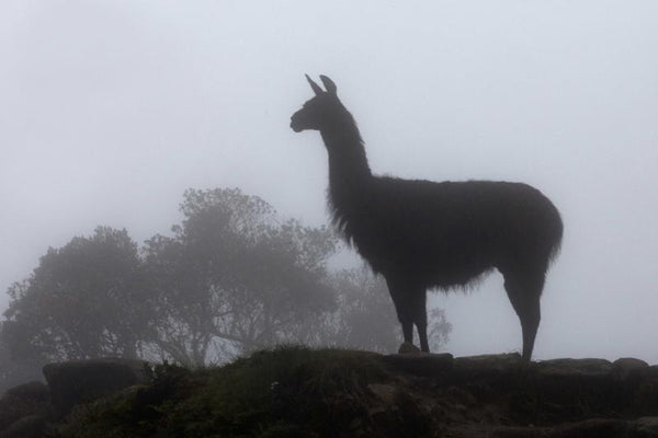 Llama, king of the  hill