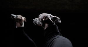 Whippet coats in black