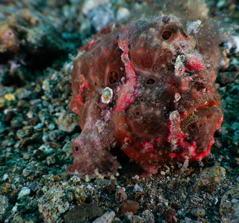 Painted Frogfish - Antennarius pictus ~10cm