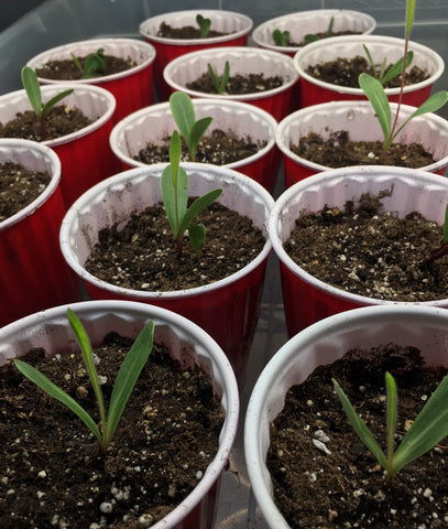 Compass plant seedlings