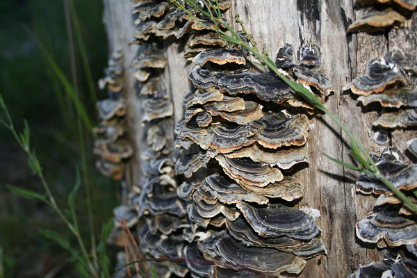 Turkey Tail Mushrooms On Tree
