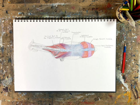 A pencil drawing showing the superficial muscles of a horse from above.