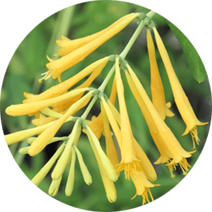 Lonicera Japonica Callus Extract image