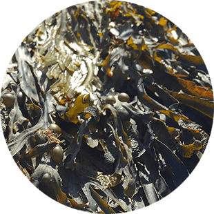 Sea Kelp Extract  image