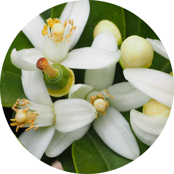 Neroli Flower Extract image