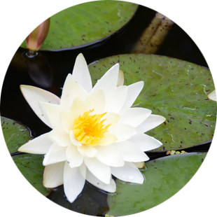 Nymphaea Alba Leaf Cell Extract  image