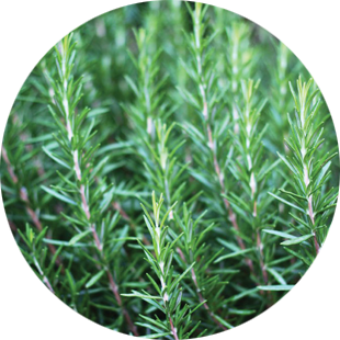 Rosemary Extract image