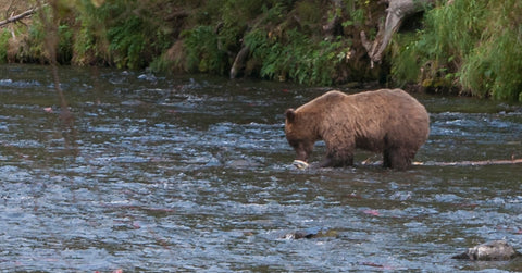 bear, river, fishing, fish, salmon, russian, river