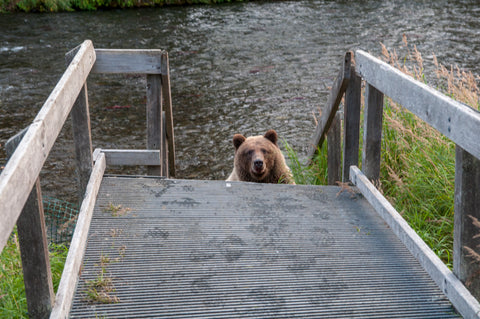 boardwalk, bear, russian, river, alaska, alaskan, fishing, fly