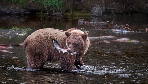 bear, brown, fishing, fish, river, fly, fly fishing,salmon