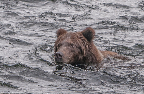 FISHING, BEAR, BROWN, BROWN BEAR, SALMON, RIVER, RUSSIAN, ALASKA, ALASKAN