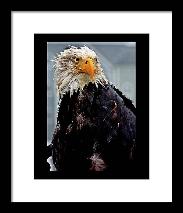 Eagle in the rain - Framed Print