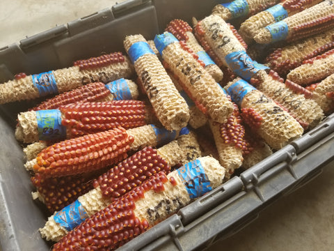 selection of cobs for Floriani Red Flint Corn breeding project