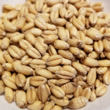 Saranac Wheat kernels - a soft white Open Source Seed Initiative Pledged wheat variety