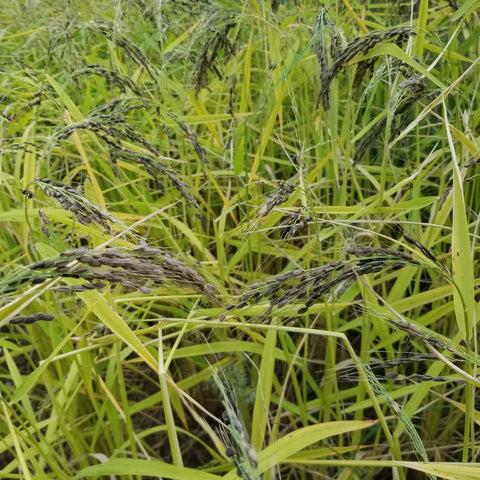 Nigrescen Upland Rice with seeds ready for harvest