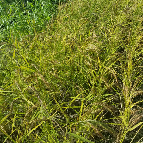 Kyzyl Shala Upland Rice ready for harvesting