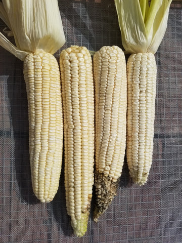 Silver King Dent Corn, first ears harvested of the season