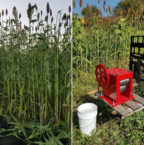 Sorghum stalks for the syrup making class