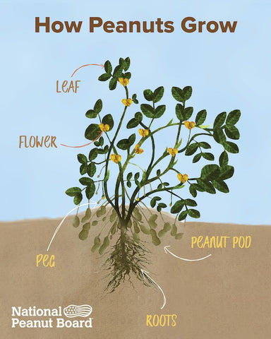 Peanut plant showing leaves, flowers, pegs, pods, and roots