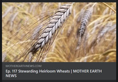 Mature Emmer Spikes for Mother Earth News Podcast Ep. 117 Stewarding Heirloom Wheats