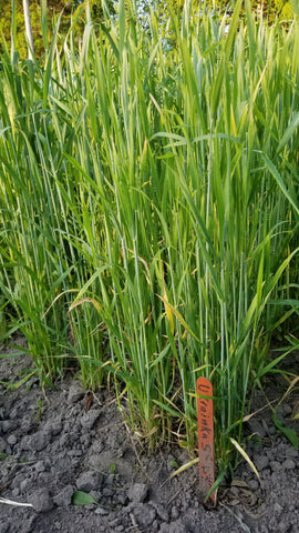 Ukrainka Winter Wheat (plot)