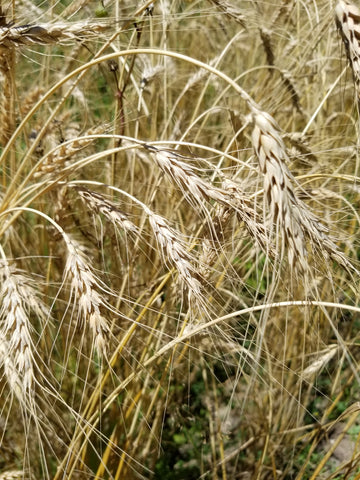 Turkey Red winter wheat (awns heads)