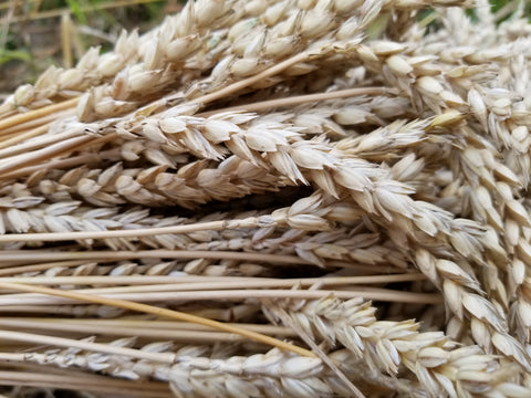 Unterengadin Wheat heads
