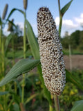 West African Pearl Millet head in field
