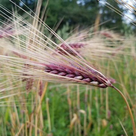 awn of Sumire Mochi Barley (early ripening)