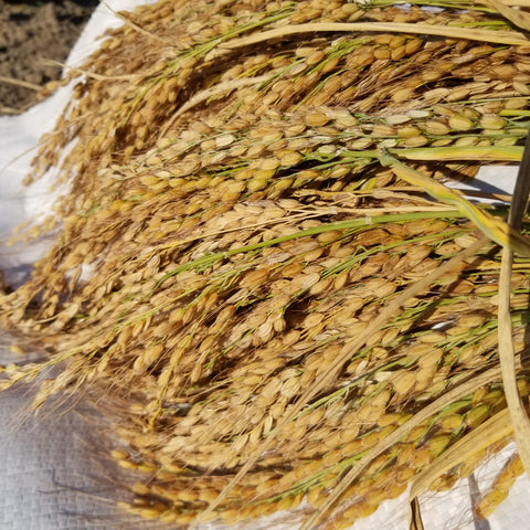 Sun ripened Duborskian Upland rice grains golden in their hulls on full panicles recently harvested